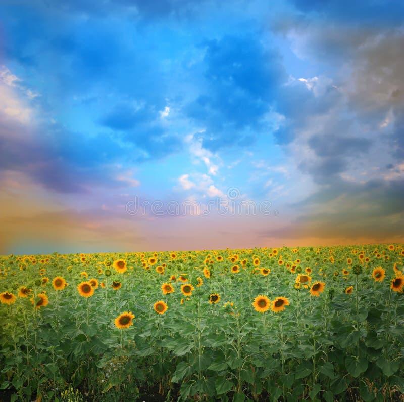 Sonnenuntergang über Sonnenblumefeld lizenzfreie stockbilder