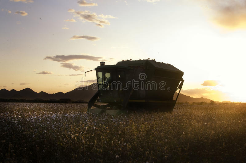 Sonnenuntergang auf Baumwollfeld stockbild