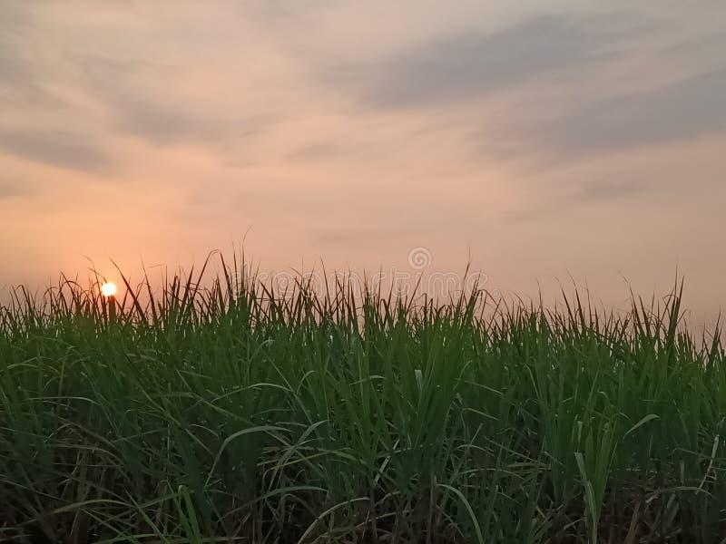 Sonnenuntergang auf den Zuckerkranfeldern stockbild