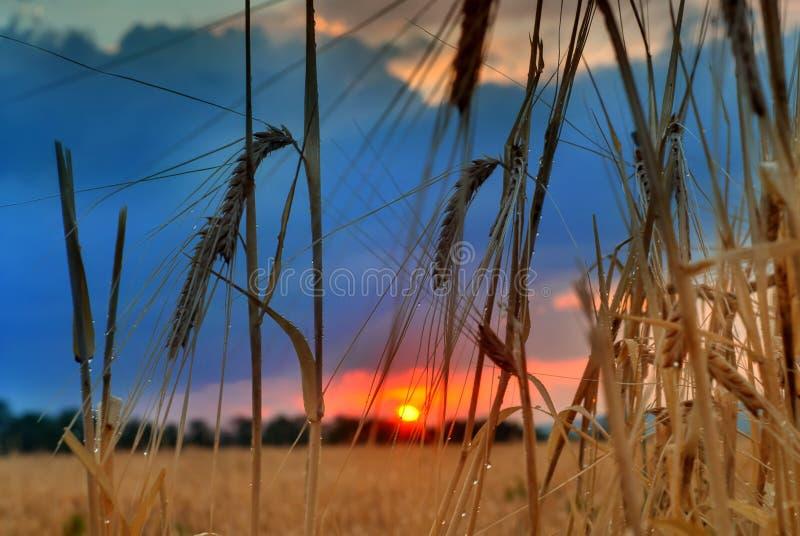 Sonnenuntergang auf Feld am Sommer. Ohren der Weizensonne gegen stockfotografie