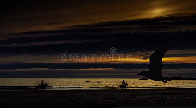 Sonnenuntergang in Cornwall mit Pferden und Schattenbild eines Fliegenvogels - St. Ives, Cornwall stockbilder