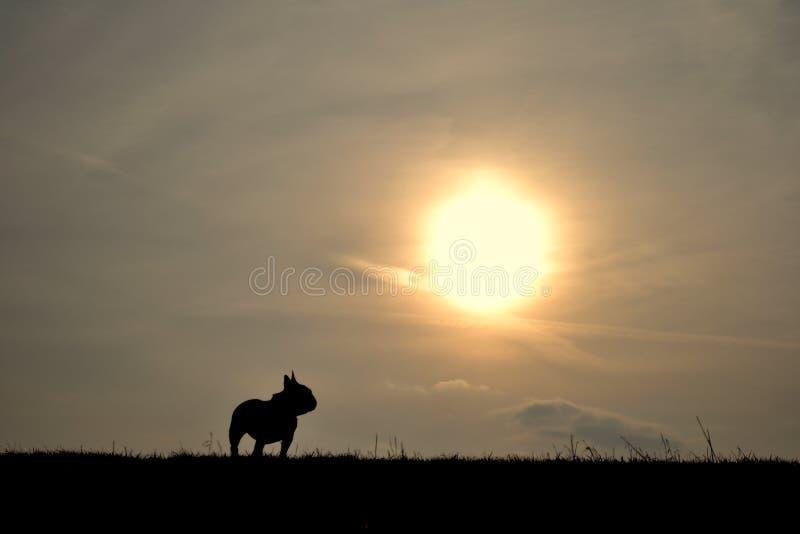 Sonnenuntergang der französischen Bulldogge lizenzfreie stockfotografie