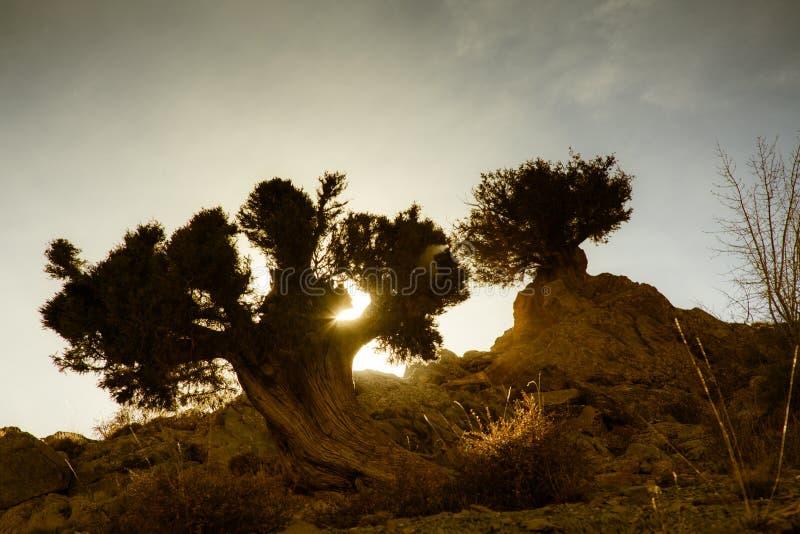 Sonnenuntergang durch Baum in der Wüste stockbild