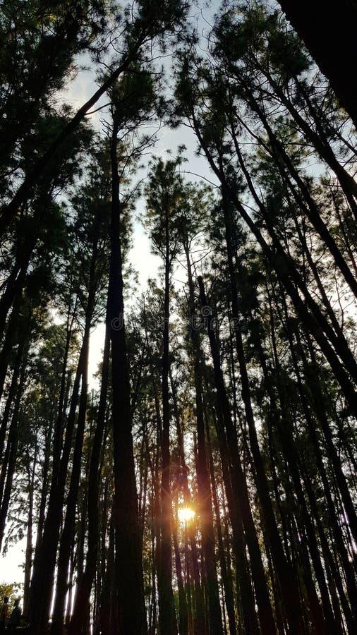 Sonnenuntergang in einem Kiefernwald durch die Bäume lizenzfreies stockbild