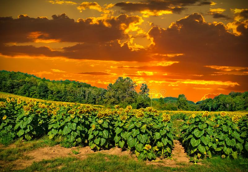 Sonnenuntergang in einem Sonnenblumenfeld stockfoto