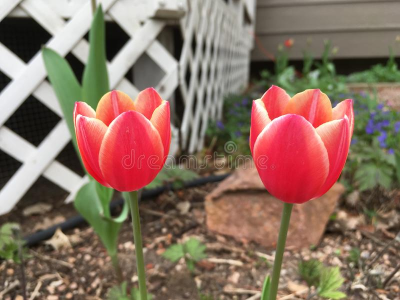 Sonnenuntergang-farbige Tulpen stockfoto
