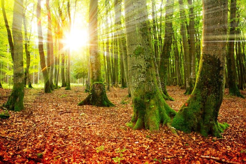 Sonnenuntergang im Herbstwald lizenzfreie stockfotografie