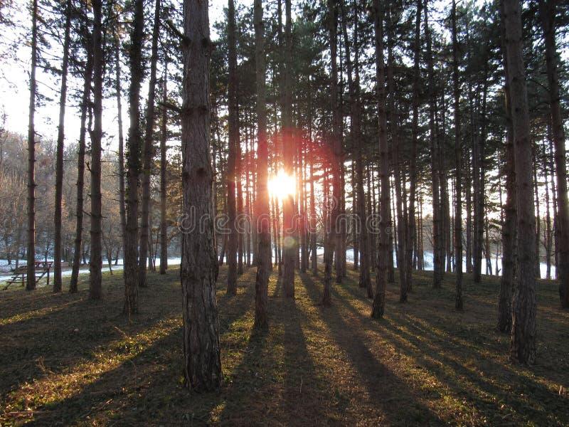 Sonnenuntergang im Kieferwald lizenzfreie stockfotos