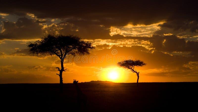 Sonnenuntergang im Maasai Mara National Park afrika kenia stockbild