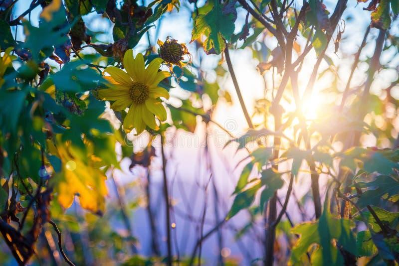 Sonnenuntergang-Landschaftsnaturblume Tung Bua Tong stockbilder
