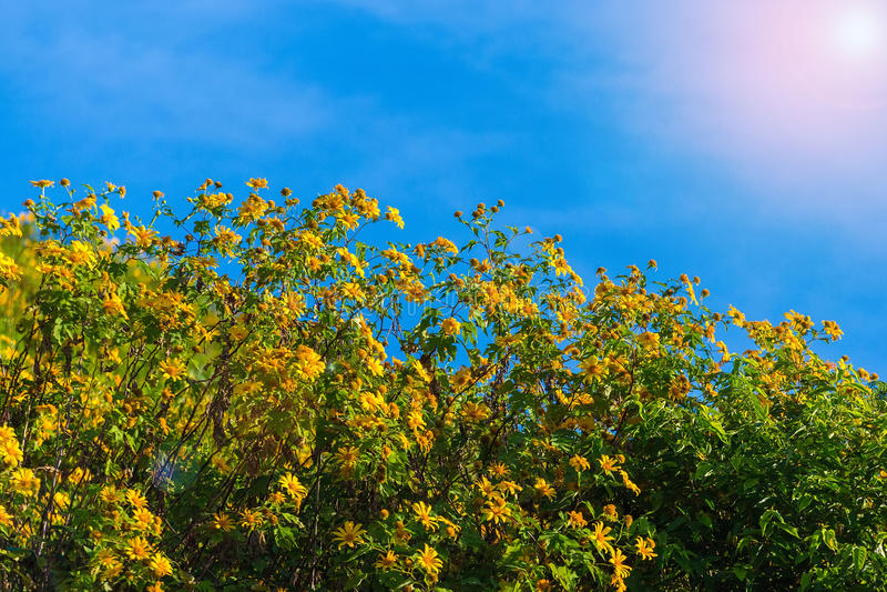 Sonnenuntergang-Landschaftsnaturblume Tung Bua Tong stockfoto