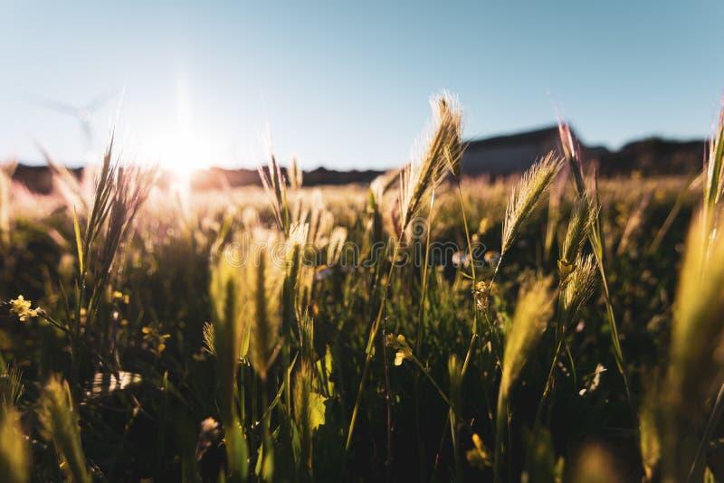 Sonnenuntergang mit klarem Himmel und wildem Weizen im Vordergrund Typisches Frühlingsbild auf einem goldenen Sonnenuntergang stockbilder