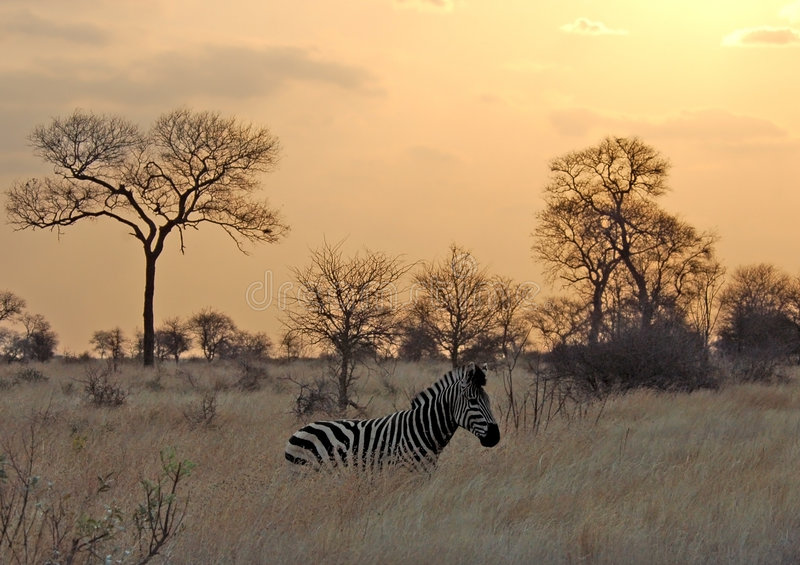 Sonnenuntergang mit Zebra in Afrika stockfotos