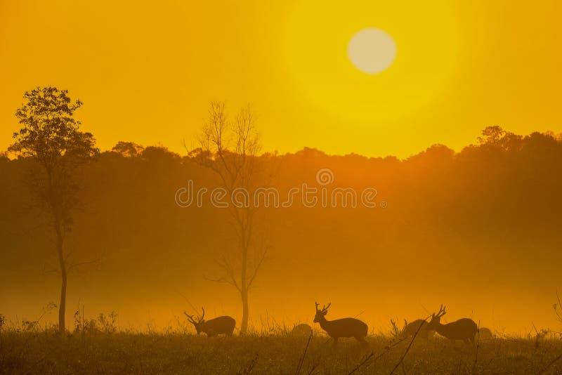 Sonnenuntergang-Rotwild an Provinz Thung Kraang Chaiyaphum, Thailand stockfotografie