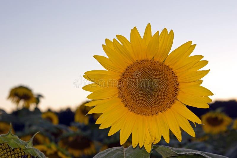 Sonnenuntergang-Sonnenblume stockbild