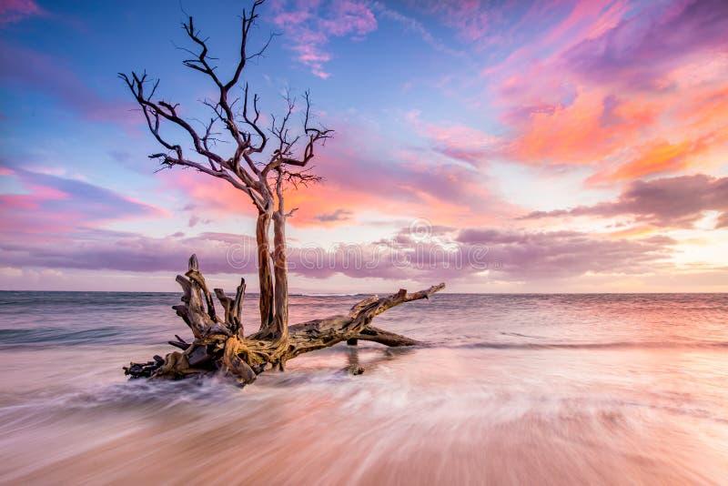 Sonnenuntergang und ehrfürchtiger toter Baum stockfotos
