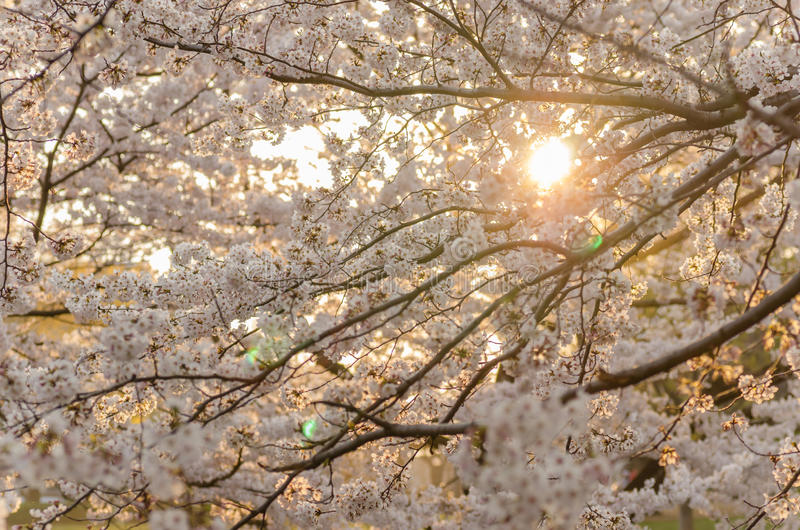 Sonnenuntergang und Kirschblüten stockbilder