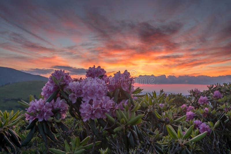 Sonnenuntergang-und Rhododendron-Blüte stockfotografie