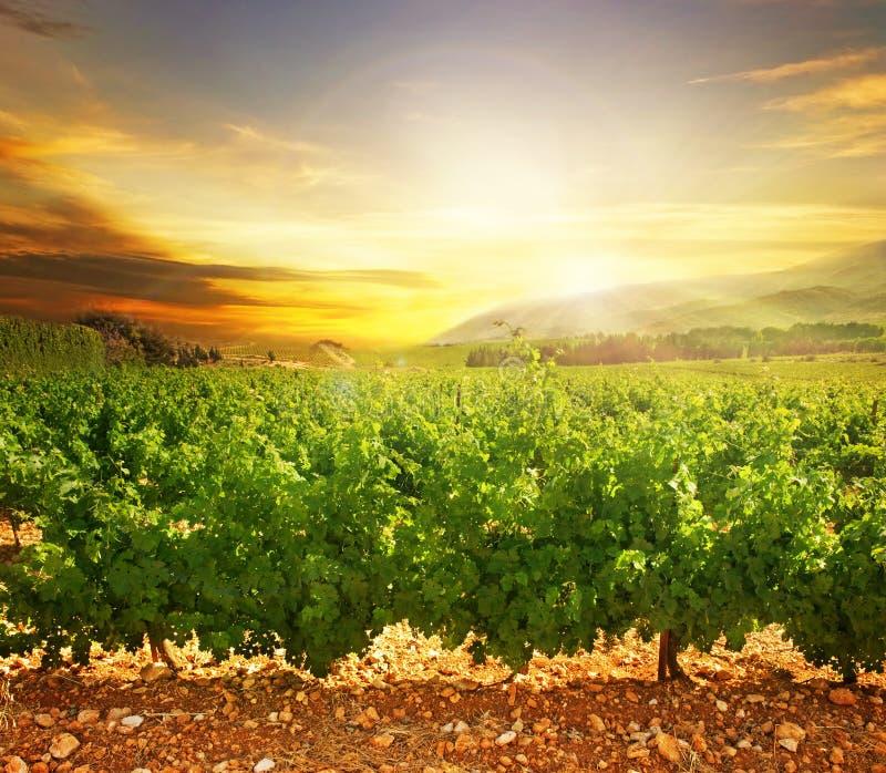 Download Sonnenuntergang-Weinberg stockbild. Bild von fields, traube - 14912493