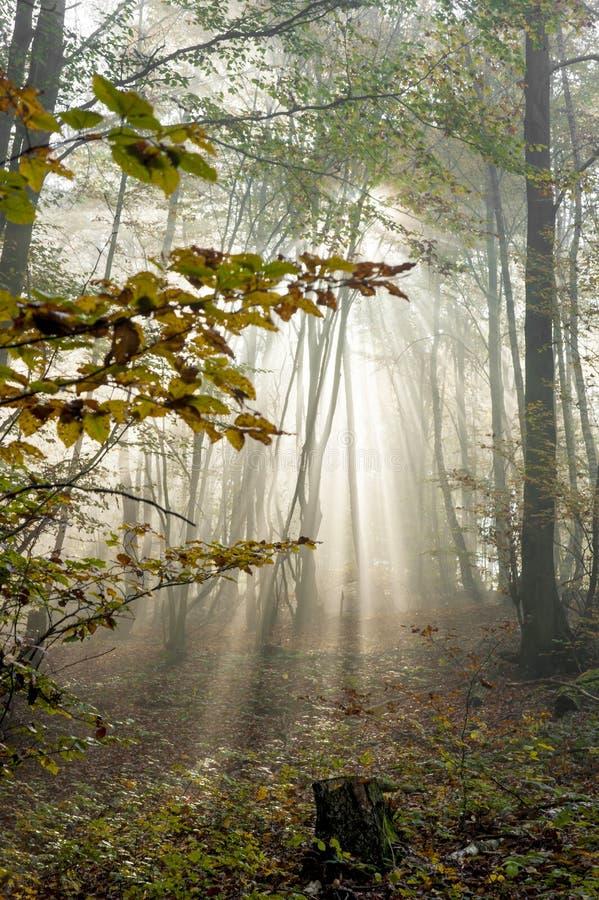 Sonnenunterganglicht im nebelhaften Herbstwald stockbild