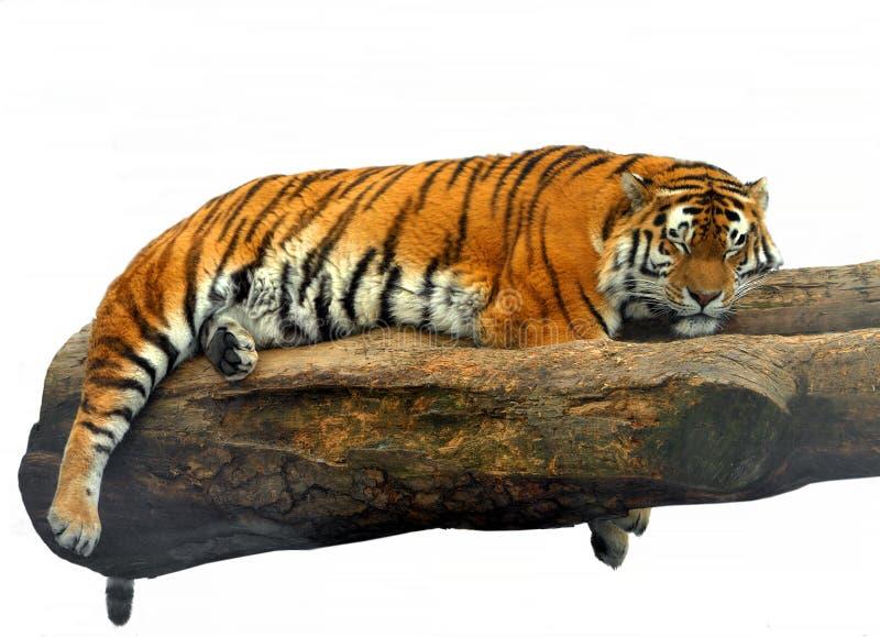 Sonni del Tigri il Tigri della panthera della tigre siberiana immagini stock libere da diritti