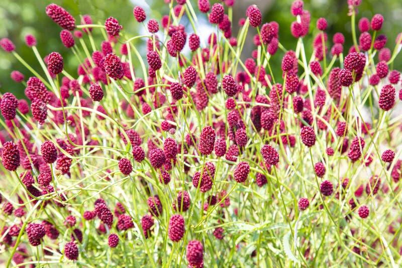 Sonnige bunte Nahaufnahme schoss vom dichten Wildflower einschließlich viele große burnet Blumen lizenzfreie stockbilder