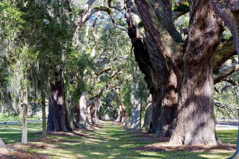 Download Sonnige Eichen-Bäume In Einer Reihe Stockfoto - Bild von gras, louisiana: 9075634