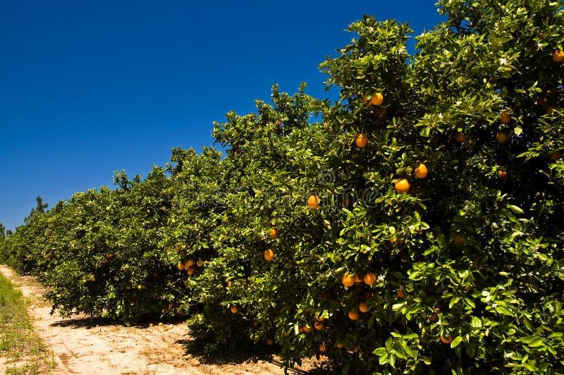 Sonnige Florida-Orangenwaldung   stockbilder
