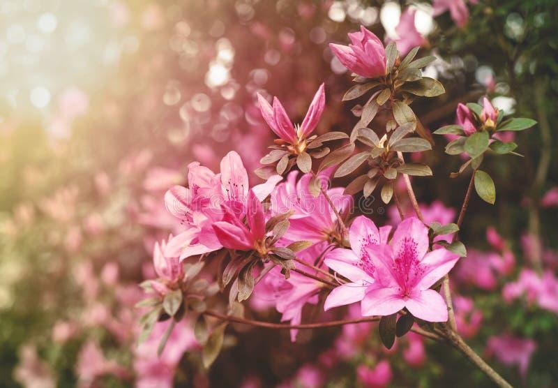 Sonnige Frühlings-Azaleen lizenzfreies stockbild