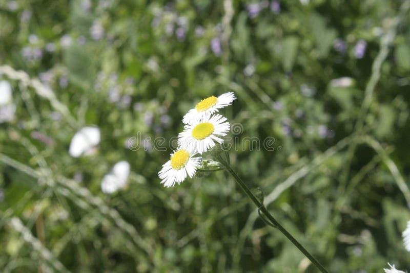 Sonnige Gänseblümchenblume und -gras stockfoto
