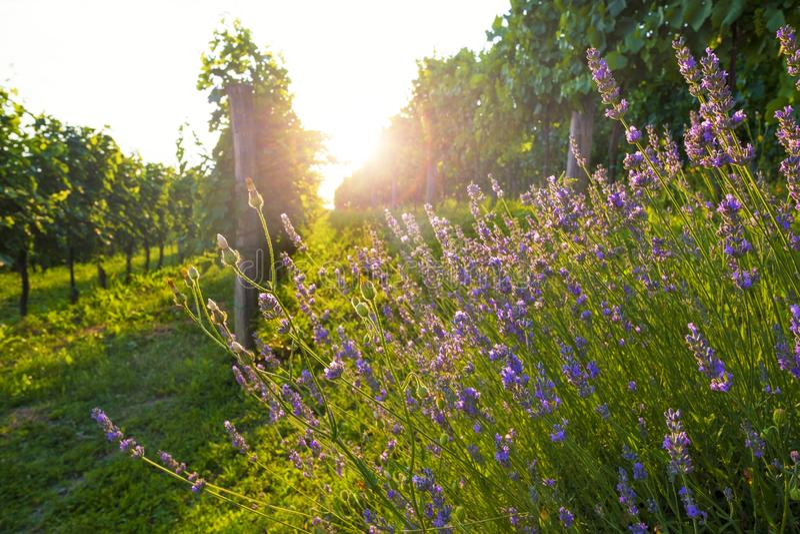 Sonnige Weinberg- und Lavendelblumen stockfoto