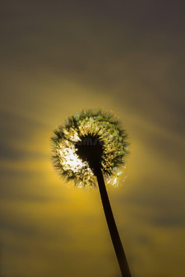 Sonniger Blowball am Hintergrund der Sonne lizenzfreies stockfoto