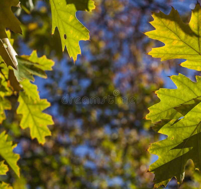 Sonniger, bunter Herbst - London, hellgrüne Blätter gegen blaue Himmel stockbilder