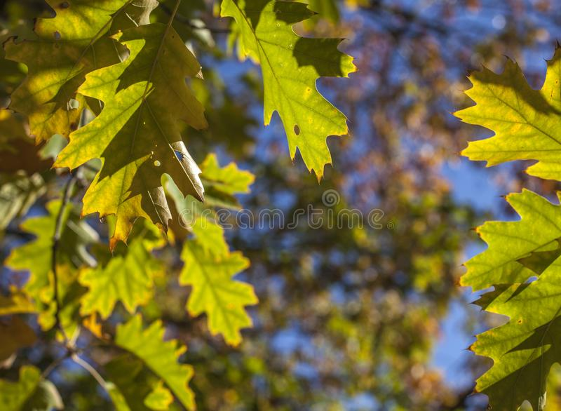 Sonniger, bunter Herbst - London, Niederlassungen voll von den grünen Blättern und von den blauen Himmeln stockbilder