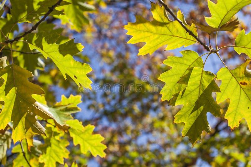 Sonniger, bunter Herbst - Niederlassungen voll von den grünen und gelben Blättern und von den blauen Himmeln lizenzfreie stockbilder