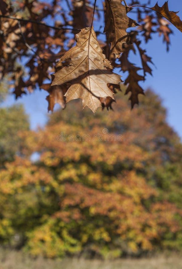 Sonniger Herbst in London - braune sonnenbeschiene Blätter und blaue Himmel stockfoto