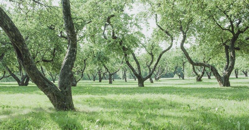 Sonniger Morgen in einem alten Apfelgarten Landschaftshintergrund stockfoto