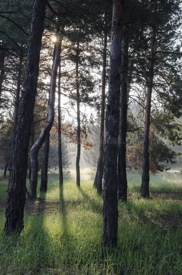 Sonniger Tag des Frühlinges in einem Kiefernwald lizenzfreies stockbild
