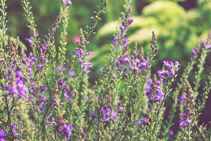 Sonniger Tag des schönen Lavendelfeldes im Garten Violetter Blumenhintergrund weich stockfoto