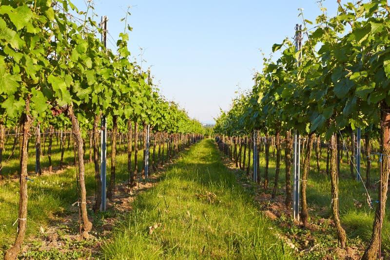 Sonniger Tag des Weinbergs im Frühjahr lizenzfreies stockfoto