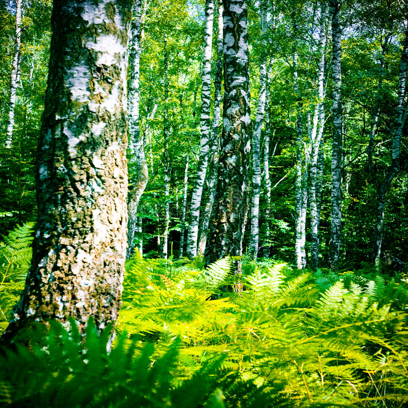 Sonniger Tag in einem Birkenholz stockbilder