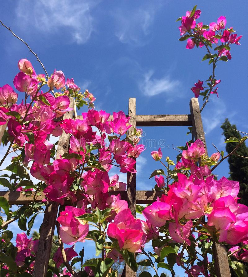 Sonniger Tag und rosa Bouganvilla stockfotos