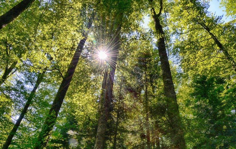Sonniger Wald mit Sonnenstrahlen stockfotografie