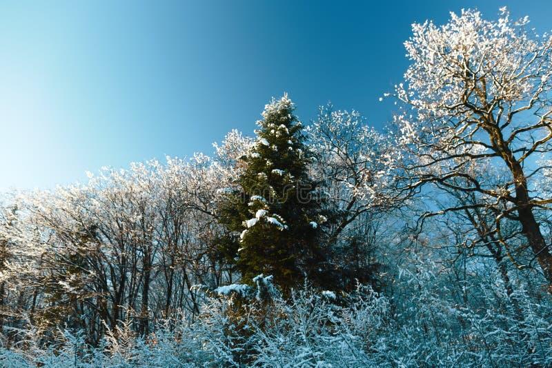 Sonniger Wintertag gegen den blauen Himmel Schnee bedeckte Baumholz in der Winterlandschaft Gefrorener Wald lizenzfreies stockfoto