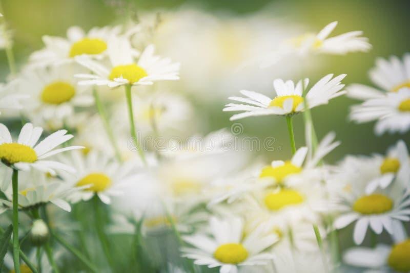 Sonniges Blütengänseblümchen blüht Hintergrund lizenzfreie stockfotografie