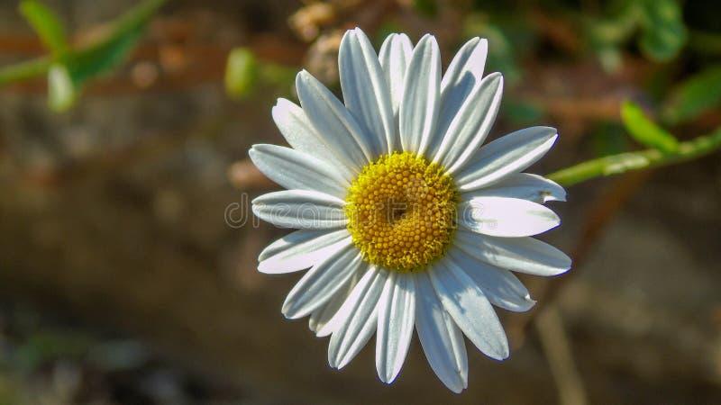 Sonniges Gänseblümchen stockbilder