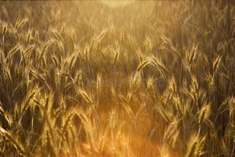 Sonniges Getreidefeld lizenzfreie stockfotos