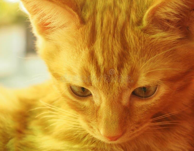 Sonniges Porträt der netten Katze des roten Ingwers am sonnigen Sommertag lizenzfreies stockfoto