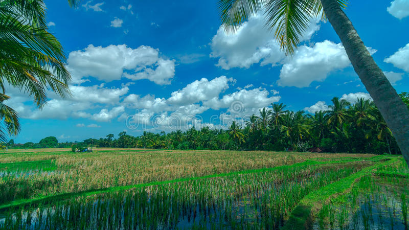 Sonniges Reisfeld an der Stadt Ubud stockbilder