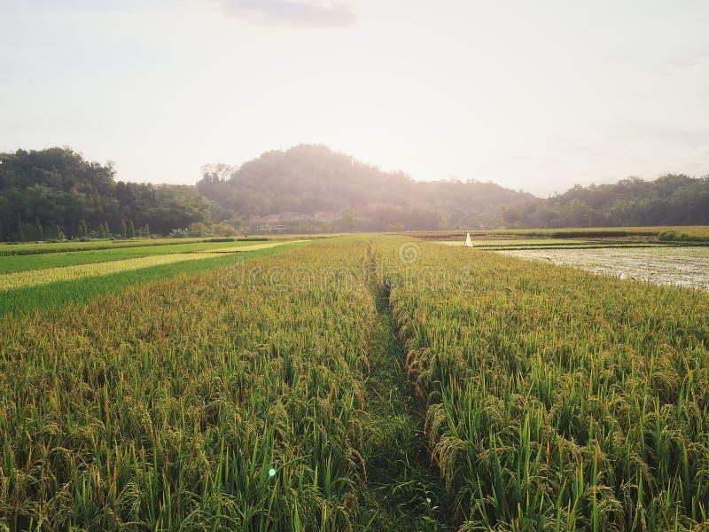 Sonniges ricefield stockbild
